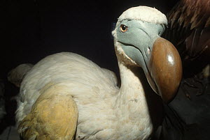 Dodo (Raphus cucullatus) reconstructed model. Natural History Museum at Tring, London. - Roland  Seitre