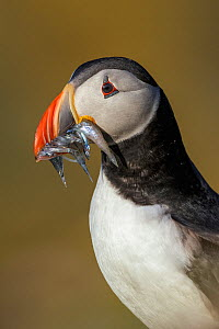 RF- Atlantic Puffin (Fratercula arctica) with beak full of Sand eels (Ammodytes tobianus) portrait. Fair Isle, Shetland Islands, Scotland, UK, July. (This image may be licensed either as rights manage... - Andy Trowbridge