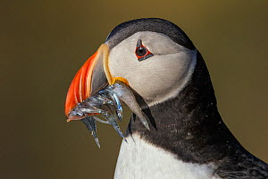 Atlantic Puffin (Fratercula arctica) with beak full of Sand eels (Ammodytes tobianus) portrait. Fair Isle, Shetland Islands, Scotland, UK, July. - Andy  Trowbridge