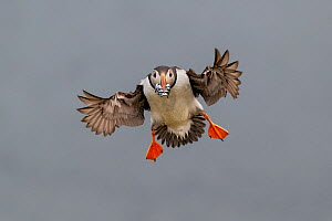 Atlantic Puffin (Fratercula arctica) in flight, coming into land with beak full of sand eels (Ammodytes tobianus). Fair Isle, Shetland Islands, Scotland, UK, July.  -  Andy  Trowbridge