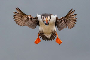 RF- Atlantic Puffin (Fratercula arctica) in flight, coming into land with beak full of sand eels (Ammodytes tobianus). Fair Isle, Shetland Islands, Scotland, UK, July. (This image may be licensed eith... - Andy Trowbridge