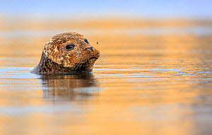 Common / Harbour seal (Phoca vitulina) looking out of water with bee hovering above its nose. Shetland Islands, Scotland, UK, July. - Andy  Trowbridge