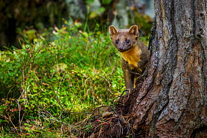 Pine marten (Martes martes) juvenile male looking around pine tree. Molde, Central Norway, September. - Andy  Trowbridge