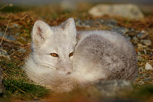 RF- Arctic Fox (Alopex lagopus) curled up, resting, during moult from grey summer fur to winter white. Dovrefjell National Park, Norway, September. Dovrefjell National Park, Norway, September. (This i...  -  Andy Trowbridge