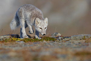 Arctic Fox (Alopex / Vulpes lagopus) searching for food/prey, during moult from grey summer fur to winter white. Dovrefjell National Park, Norway, September. - Andy  Trowbridge
