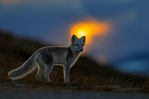 Arctic Fox (Alopex / Vulpes lagopus) at sunset, during moult from grey summer fur to winter white. Dovrefjell National Park, Norway, September.  -  Andy  Trowbridge