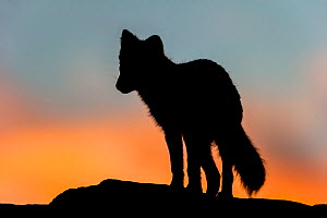 Arctic Fox (Alopex / Vulpes lagopus) standing on rock, silhouetted against a colourful sky at sunset. Dovrefjell National Park, Norway, September. - Andy  Trowbridge