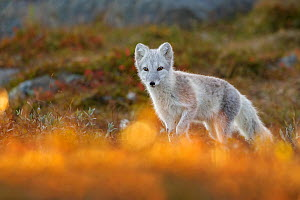 Arctic Fox (Alopex / Vulpes lagopus) portrait in early morning light, during moult from grey summer fur to winter white. Dovrefjell National Park, Norway, September.  -  Andy  Trowbridge