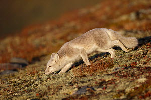 Arctic Fox (Alopex / Vulpes lagopus) running low to the ground, during moult from grey summer fur to winter white. Dovrefjell National Park, Norway, September.  -  Andy  Trowbridge