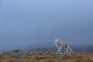 Arctic Fox (Alopex / Vulpes lagopus) standing on ridge, mist/fog in the background. Dovrefjell National Park, Norway, September. - Andy  Trowbridge
