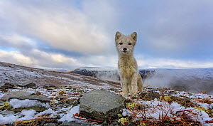 Curious Arctic Fox (Alopex / Vulpes lagopus) wide angle portrait. Dovrefjell National Park, Norway, September.  -  Andy  Trowbridge