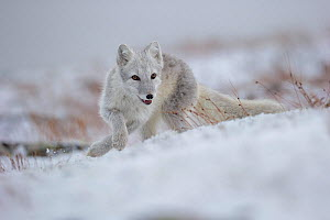 Arctic Fox (Alopex / Vulpes lagopus) hunting in fresh snow, during moult from grey summer fur to winter white. Dovrefjell National Park, Norway, September.  -  Andy  Trowbridge