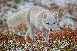 Arctic Fox (Alopex / Vulpes lagopus) portrait, during moult from grey summer fur to winter white. Dovrefjell National Park, Norway, September. - Andy  Trowbridge