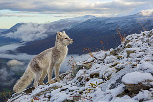 Arctic Fox (Alopex / Vulpes lagopus) standing on ridge, during moult from grey summer fur to winter white. Dovrefjell National Park, Norway, September.  -  Andy  Trowbridge