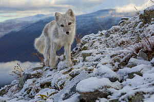 RF- Arctic Fox (Alopex / Vulpes lagopus) standing on ridge, during moult from grey summer fur to winter white. Dovrefjell National Park, Norway, September. (This image may be licensed either as rights...  -  Andy Trowbridge