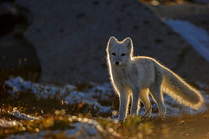 Arctic Fox (Alopex / Vulpes lagopus) backlit portrait, during moult from grey summer fur to winter white. Dovrefjell National Park, Norway, September. - Andy  Trowbridge