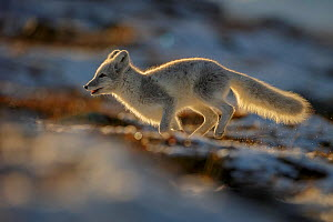 Arctic Fox (Alopex / Vulpes lagopus) running along ridge, backlit, during moult from grey summer fur to winter white. Dovrefjell National Park, Norway, September.  -  Andy  Trowbridge