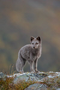Arctic Fox cub (Alopex / Vulpes lagopus) portrait, blue morph, autumn colours in the background. Dovrefjell National Park, Norway, September.  -  Andy  Trowbridge