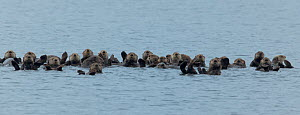 A raft of Sea otters (Enhydra lutris) socialize together as they float in sea, Sound at Sitka, Alaska, August.  -  Charlie  Summers