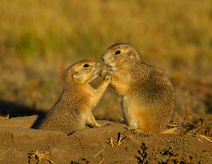 Black-tailed prairie dogs (Cynomys ludovicianus) interaction at burrow. Wind Cave National Park, South Dakota, USA, October. - Charlie  Summers