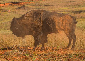 American buffalo (Bison bison) shaking off after rolling in dirt it had prepared by hoofing the soil, urinating, then rolling.  This behaviour is associated with the mating season. Wind Cave National... - Charlie  Summers