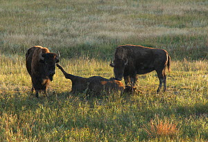 American Buffalo (Bison bison) bulls with a dead cow.  Buffalo will visit the carcass for weeks and  nudge and lick the remains. Wind Cave National Park, South Dakota, September. - Charlie  Summers