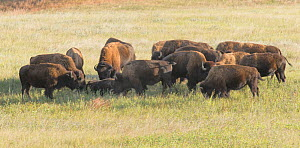 American Buffalo (Bison bison) gather at the carcass of a dead member of the herd and sniff, lick and nudge it. Wind Cave National Park, South Dakota, USA, September. - Charlie  Summers