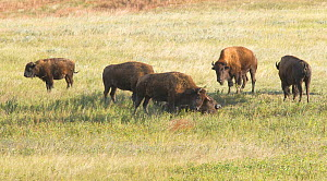American Buffalo (Bison bison) gather at the carcass of a fallen member of the herd and pay their respects as they sniff, lick and nudge it. Buffalo will visit the carcass like this for weeks, the sam... - Charlie  Summers