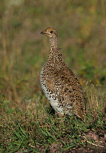 Columbian Sharp-tailed Grouse (Tympanuchus phasianellus)  female, Custer State Park, South Dakota prairie, USA, October. - Charlie  Summers
