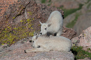 Rocky Mountain Goat (Oreamnos americanus) kid chewing on anothers ear, Mount Evans, Colorado, USA, July.  -  Charlie  Summers