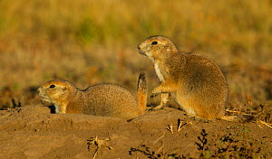Black-tailed Prairie Dogs (Cynomys ludovicianus) a top burrow. One with tag on ear, Wind Cave National Park of South Dakota were tagged for a study. - Charlie  Summers