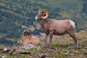 Rocky Mountain Bighorn Sheep (Ovis canadensis) young ram in subservient behaviour to dominant ram, Rocky Mountain National Park, Colorado, USA, August. - Charlie  Summers