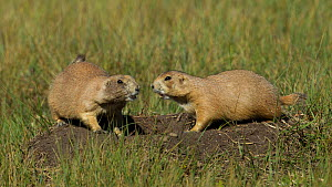 Black-tailed prairie dogs (Cynomys ludovicianus) chirping in unison from atop a burrow. Wind Cave, South Dakota, USA, September.  -  Charlie  Summers