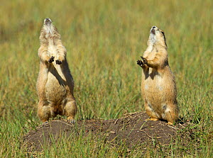 Black-tailed prairie dogs (Cynomys ludovicianus) yipping atop burrow, Wind Cave National Park, South Dakota, USA, September. - Charlie  Summers
