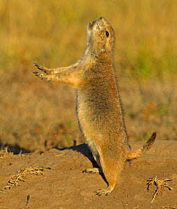 Black-tailed Prairie Dog (Cynomys ludovicianus) jumping with yip cry. Wind Cave National Park, South Dakota, USA, October. - Charlie  Summers
