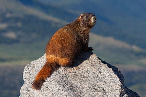 Yellow-bellied Marmot (Marmota flaviventris) Mt. Evans, Colorado, USA, July.  -  Charlie  Summers