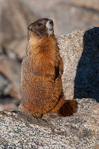 Yellow-bellied Marmot (Marmota flaviventris) standing on a Mt. Evans, Colorado, USA, July.  -  Charlie  Summers