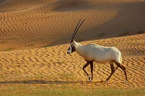 RF- Arabian Oryx (Oryx leucoryx) Dubai Desert Conservation Reserve, Dubai, UAE. (This image may be licensed either as rights managed or royalty free.)  -  Staffan Widstrand