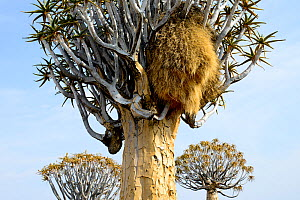Kokerboom or Quiver Tree (Aloe dichotoma) with Sociable Weaver (Philetairus socius) nest, Quiver tree forest, Kalahari, Namibia. - Enrique Lopez-Tapia