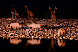 Black rhino (Diceros bicornis) and Angolan Giraffe (Giraffa camelopardalis angolensis) at watering hole at night, taken with infra red camera, Okaukuejo pan, Etosha National Park, Namibia.  -  Enrique Lopez-Tapia