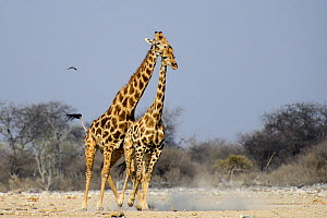 Male Giraffe (Giraffa camelopardis) trying to mate with female, as she attempts to escape, Etosha National Park, Namibia.  -  Enrique Lopez-Tapia
