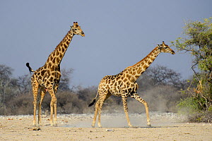 A male giraffe (Giraffa camelopardis) tries to reproduce with a female, as she tries to escape. Etosha National Park, Namibia.  -  Enrique Lopez-Tapia