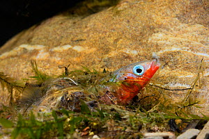 Three-spined stickleback (Gasterosteus aculeatus), male building his nest, Espai Natural Les Gavarres, Baix Emporda, Catalonia, Spain, captive. - Oriol  Alamany