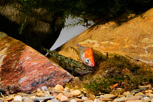 Three-spined stickleback (Gasterosteus aculeatus) male with female laying eggs in the nest, Espai Natural Les Gavarres, Baix Emporda, Catalonia, Spain, captive. - Oriol  Alamany
