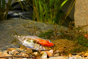 Three-spined stickleback (Gasterosteus aculeatus), male with female laying eggs in the nest, Espai Natural Les Gavarres, Baix Emporda, Catalonia, Spain, captive. - Oriol  Alamany