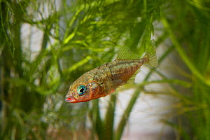 Three-spined stickleback (Gasterosteus aculeatus) male, Espai Natural Les Gavarres, Catalonia, Spain, captive. - Oriol  Alamany
