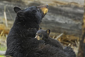 Cinnamon bear, subspecies of Black bear (Ursus americanus cinnamomum) mother with young cub. Yellowstone National Park, Wyoming, USA, May. - George  Sanker