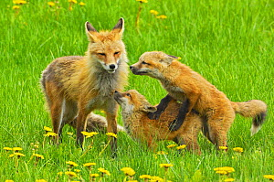 American Red fox (Vulpes vulpes fulva) mother and two cubs playing, Grand Teton National Park, Wyoming, USA, May. - George  Sanker