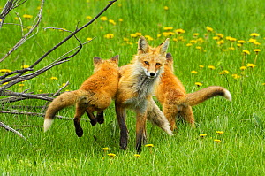American Red fox (Vulpes vulpes fulva) baby leaping on its disinterested mother. Grand Teton National Park, Wyoming, USA, May. - George  Sanker