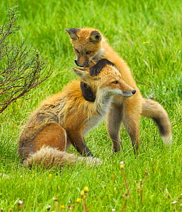 American Red fox (Vulpes vulpes fulva) baby playing with mother, Grand Teton National Park, Wyoming, USA, May. - George  Sanker